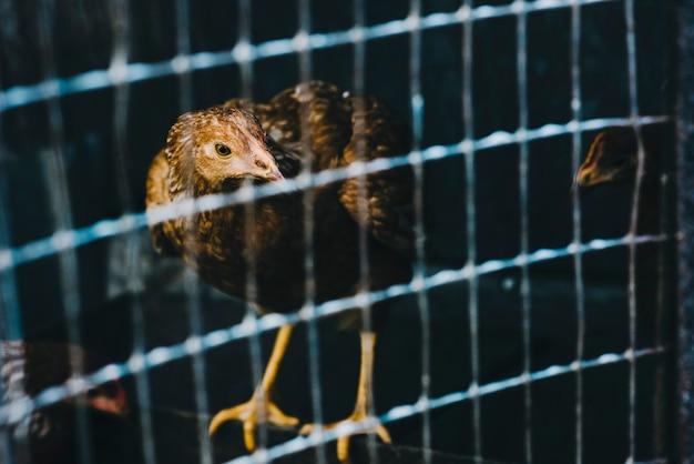 Retrato de una gallina en jaula