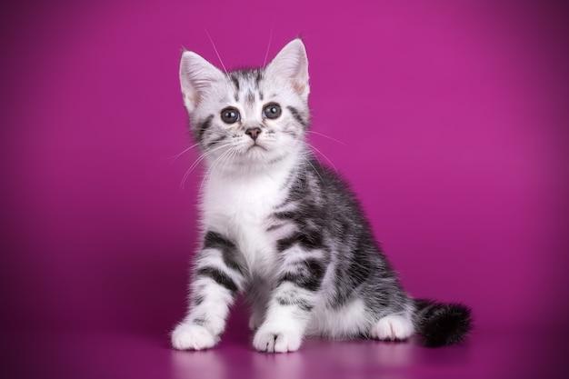 Retrato de un gato americano de pelo corto en la pared de color