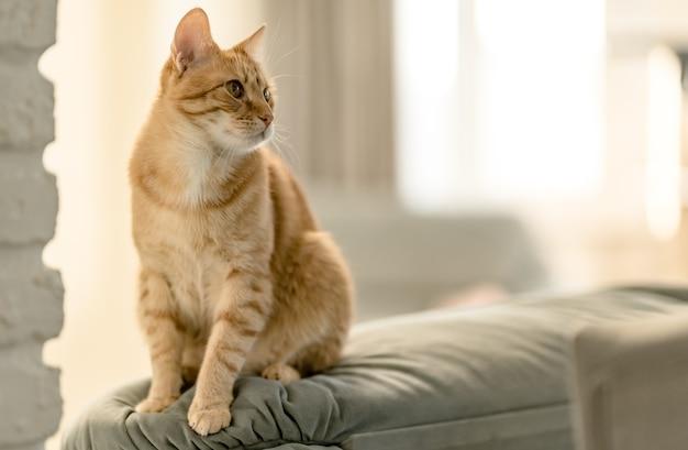 Retrato de un gato atigrado jengibre bastante doméstico está sentado en un sofá.