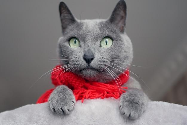 Retrato de un gato azul ruso con un pañuelo rojo que parece sorprendido. concepto de humor navideño.