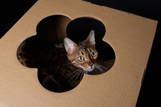 Retrato de un gato de bengala doméstico. el gatito se sienta en una caja de cartón y mira a través de un agujero en forma de flor.