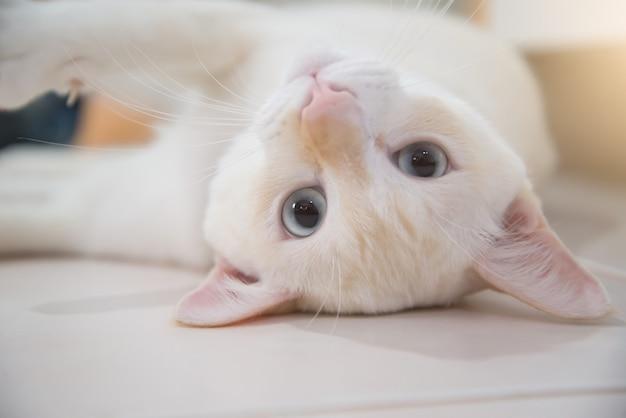 Retrato del gato blanco masculino. gato blanco hermoso que se relaja en piso.