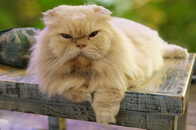 Retrato de gato blanco, los ojos miraban al frente y sentados en el asiento.