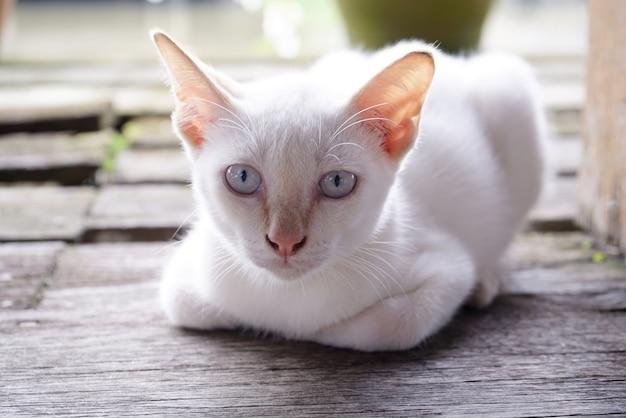 Retrato de gato blanco, los ojos miraban hacia el suelo de madera.
