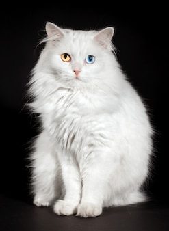 Retrato de un gato blanco de ojos varicoloured.