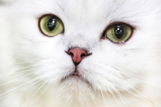 Retrato de un gato de bosque noruego