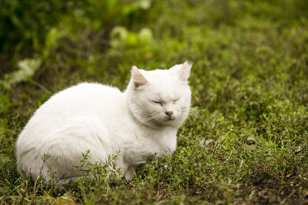 Retrato de un gato doméstico de color blanco con grandes ojos. gato blanco con nariz rosa. raza blanca rusa de gatos.