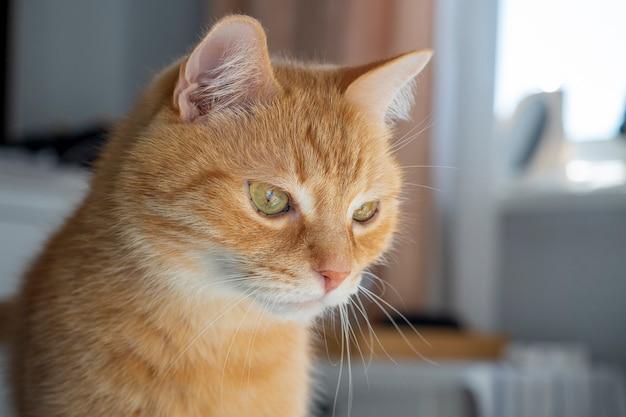 Retrato de un gato doméstico de pelo rojo que mira hacia otro lado de una manera indiferente