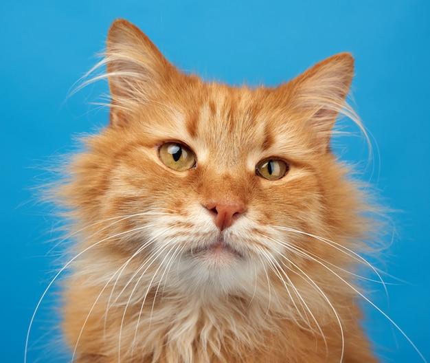 Retrato de gato esponjoso jengibre adulto sobre un fondo azul.
