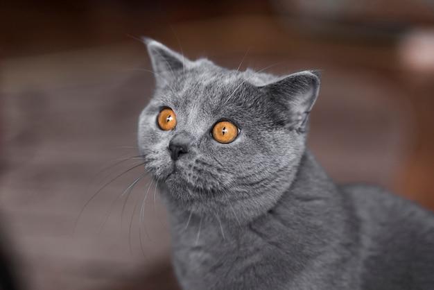 Retrato de gato gris de pelo corto británico