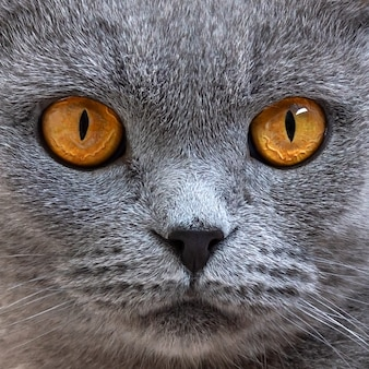 Retrato de gato gris scottish fold, de cerca. concéntrese en los hermosos ojos de gato naranja.