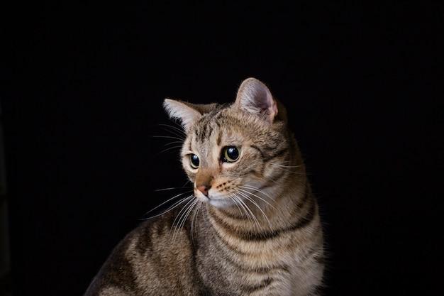 Retrato de un gato hermoso joven aislado sobre fondo negro. tiene pelaje marrón y negro y ojos verdes. casa o estudio, en interiores. estilo de vida.