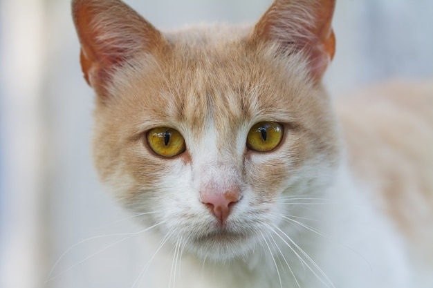 Retrato de un gato sin hogar pelirrojo y blanco.