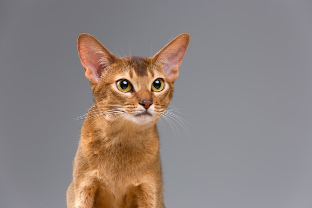 Retrato de gato joven abisinio de raza pura