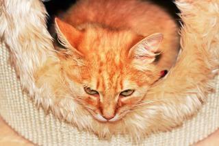 Retrato del gato naranja