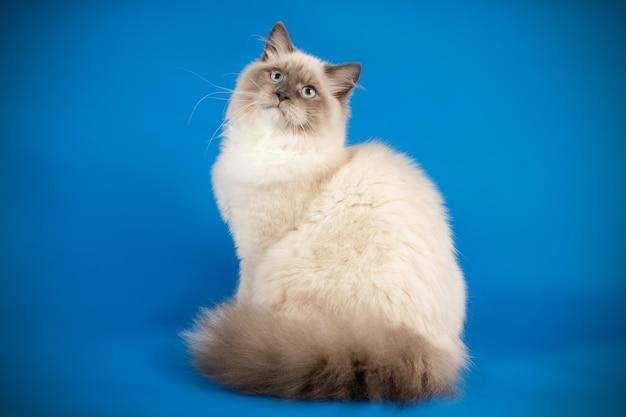 Retrato del gato neva masquerade en una pared de color