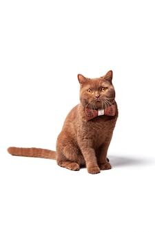 Retrato de un gato, ojos amarillos brillantes, una mirada juguetona.