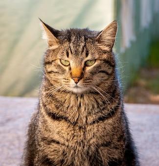 Retrato de un gato rayado gruñón bajo la luz del sol con un fondo borroso