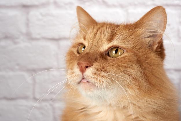 Retrato de un gato rojo adulto, emoción triste, fondo blanco.