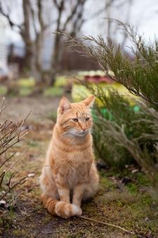 Retrato de gato rojo de la raza del bosque noruego en caminar en el jardín en primavera
