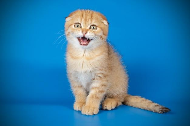 Retrato de un gato scottish fold de pelo corto en la pared coloreada