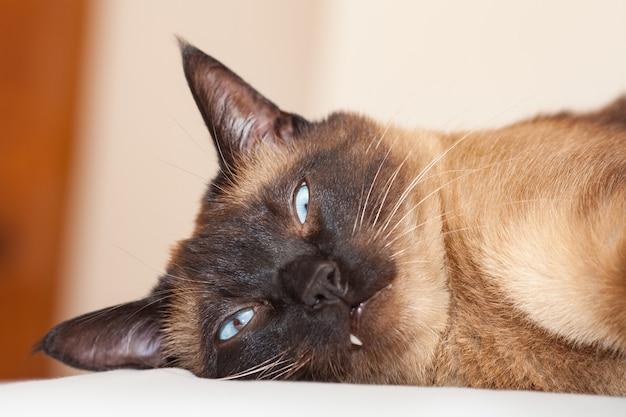 Retrato de un gato siamés con hermosos ojos azules no contento con la cabeza de un pequeño diablo con una mirada desagradable