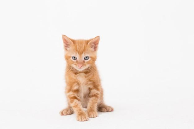 Retrato de gato sobre fondo blanco