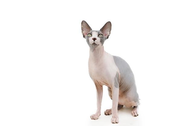 Retrato de gato sphynx sentado. aislado en el fondo blanco