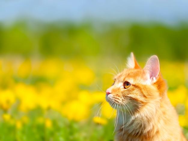 El retrato de ginger kurilian bobtail cat curioso por un campo con dientes de león amarillos