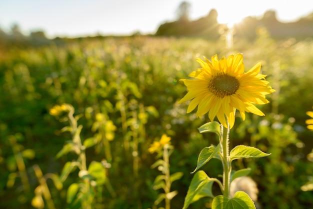 Retrato de girasol floreciendo contra hermosos paisajes de campos en la naturaleza