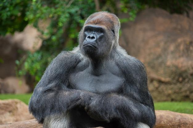 Retrato de un gorila espalda plateada del oeste