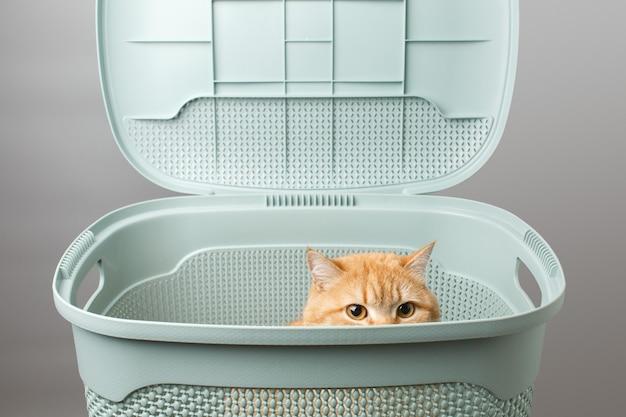 Retrato gracioso gato con grandes ojos amarillos mirando fuera de caja gato esponjoso rojo en caja aislada en gris