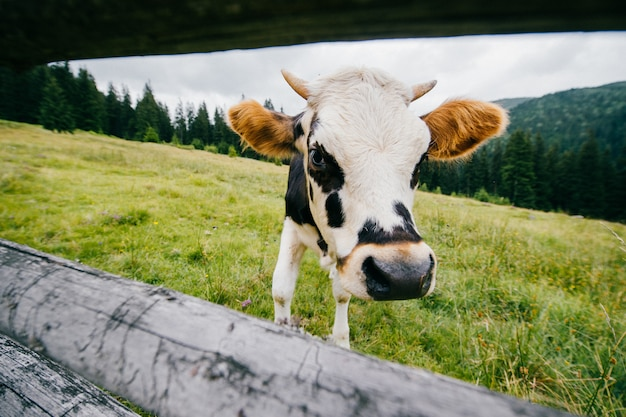 Retrato de gran angular de vaca pastando en la naturaleza