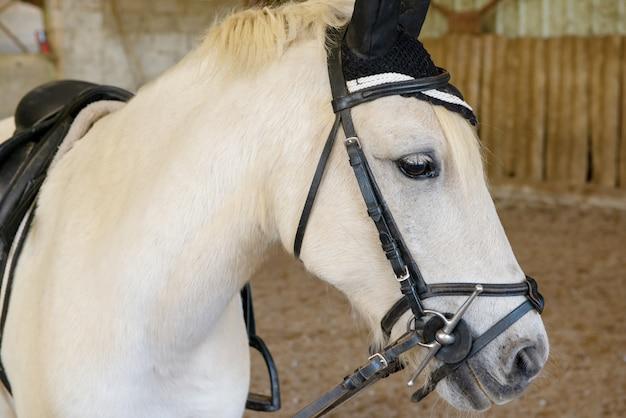 Retrato de un hermoso caballo blanco
