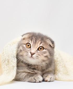 Retrato de un hermoso gato scottish fold,