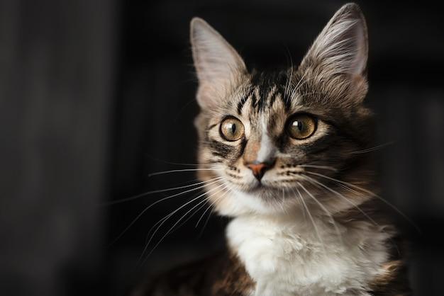 Retrato de un hermoso gato siberiano, que mira cuidadosamente a lo lejos