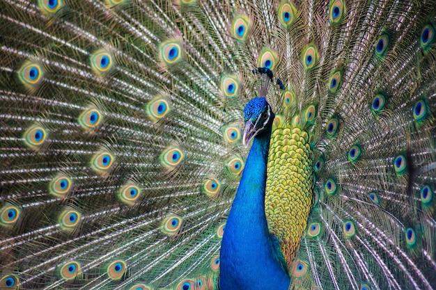 Retrato de hermoso pavo real con plumas