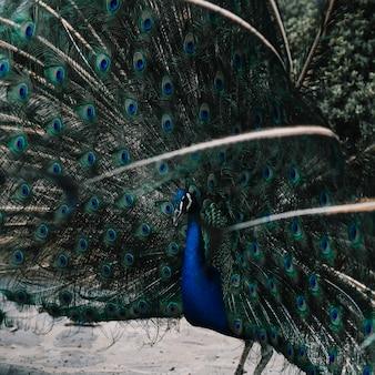Retrato de un hermoso pavo real