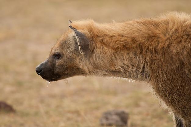 Retrato de hiena