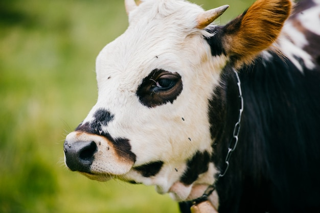 Retrato de hocico de vaca en la naturaleza en verano