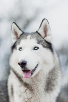 Retrato de husky siberiano en el bosque de fondo.