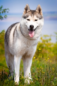 Retrato de un husky siberiano. de cerca. el perro está de pie sobre la hierba. paisaje. río de fondo