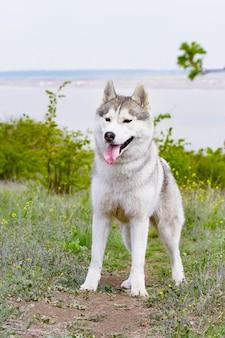 Retrato de un husky siberiano. de cerca. el perro está de pie sobre la hierba. paisaje.