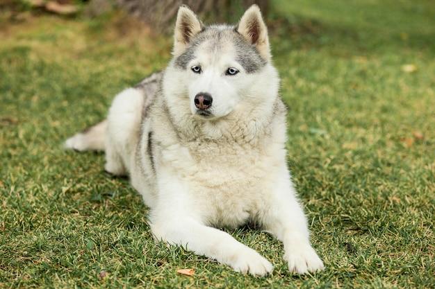 Retrato de husky siberiano