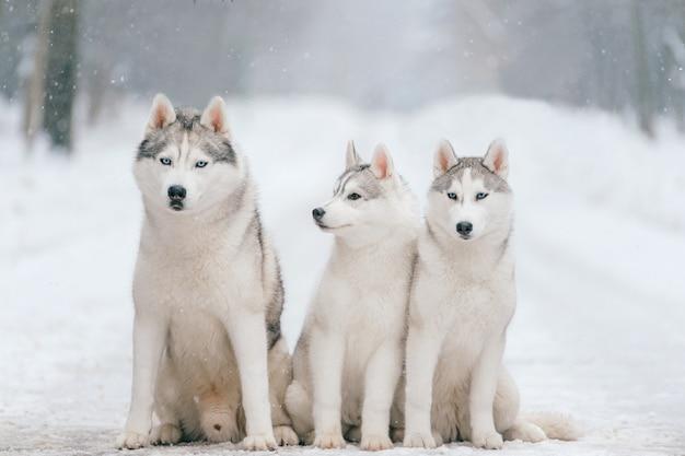 Retrato de invierno al aire libre de la familia de perros husky siberiano