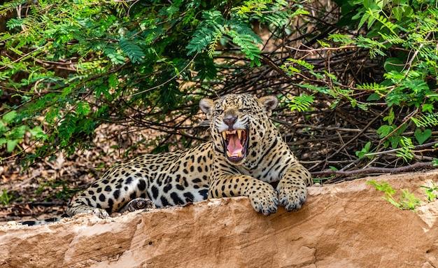 Retrato de un jaguar en la selva