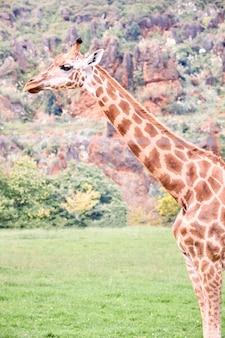 Retrato de una jirafa adulta muy camuflada con el medio ambiente.