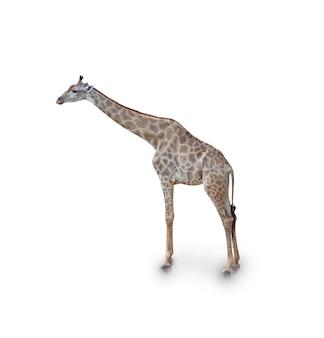 Retrato de jirafa aislado en blanco (trazado de recorte)