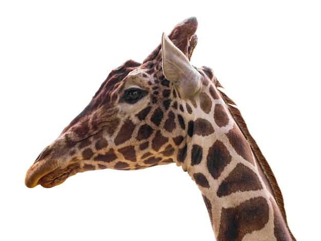 Retrato de jirafa
