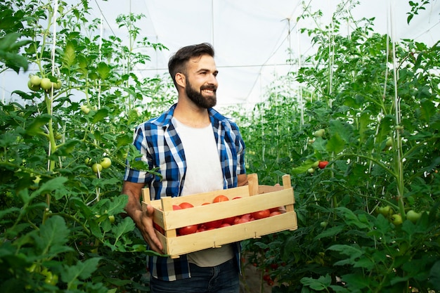 Retrato de joven agricultor sonriente con vegetales de tomate recién cosechados y de pie en el jardín de invernadero